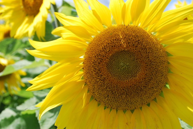 cropped-sunflower7.jpg